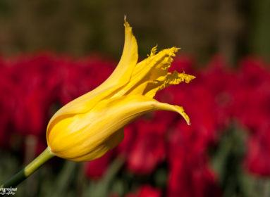Tulipany_04