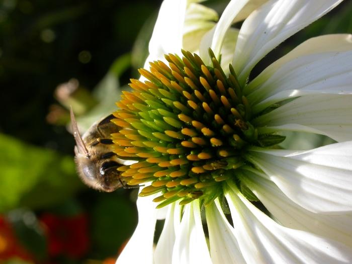 pszczola_miodna
